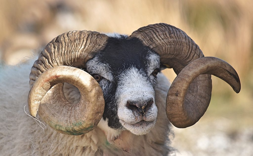 ram goat aries