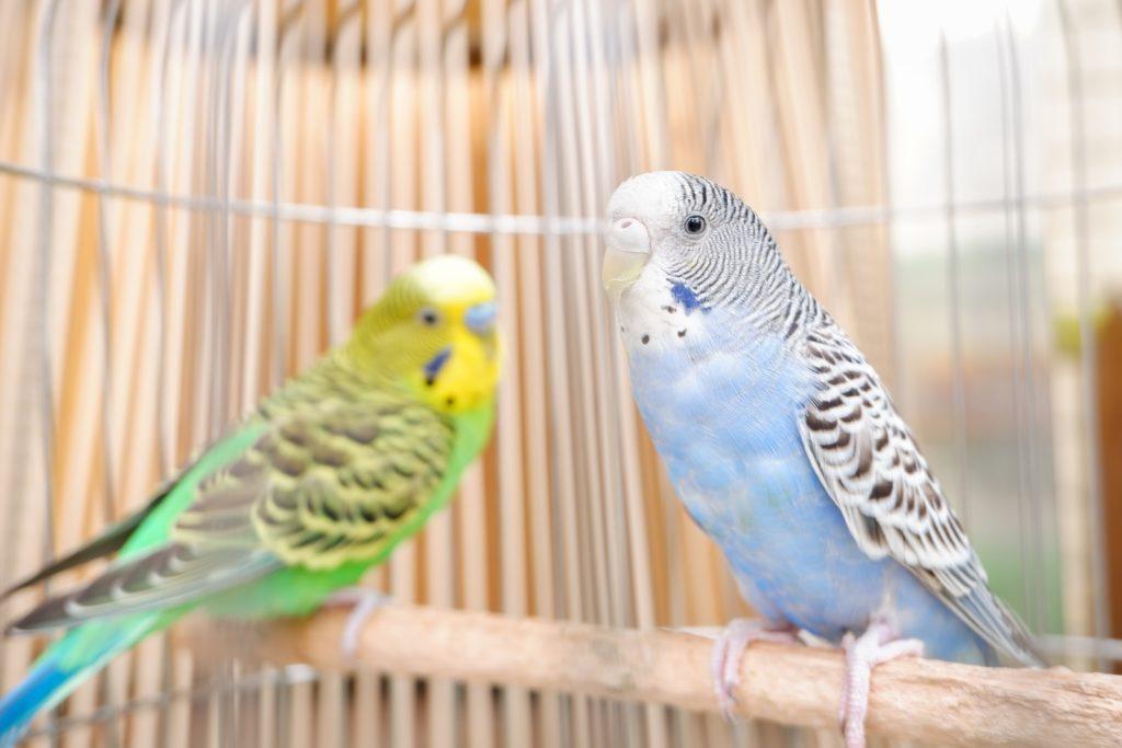 gemini spirit animal parakeet