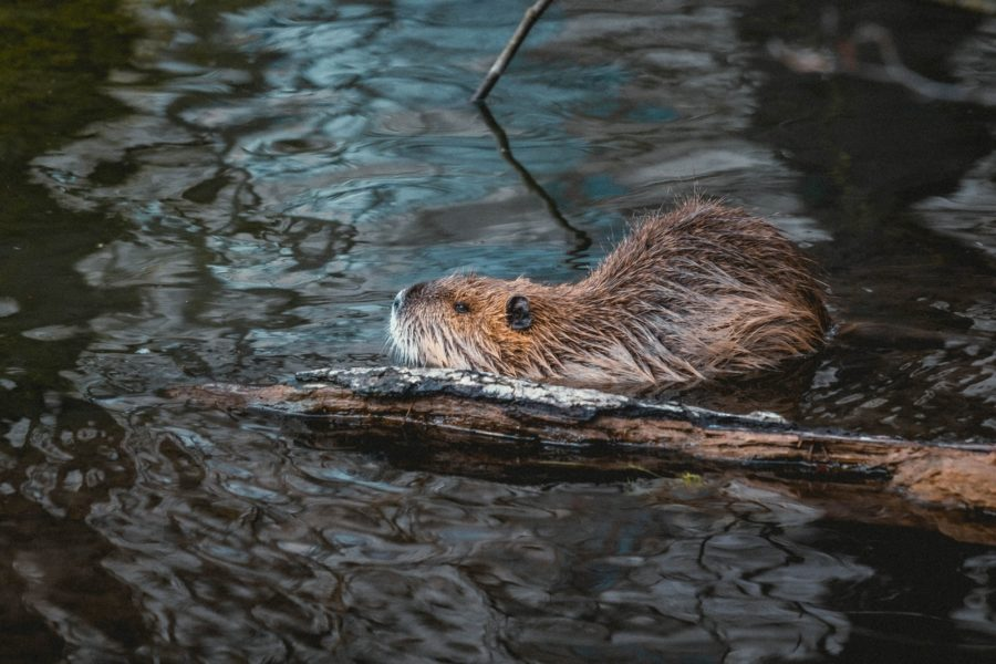 brown and white animal in water