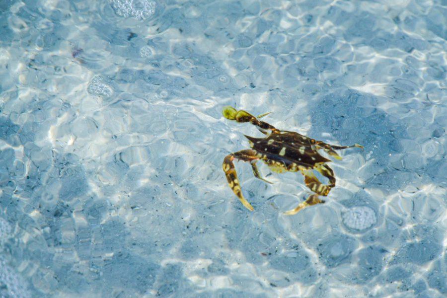 cancer zodiac spirit animal crab
