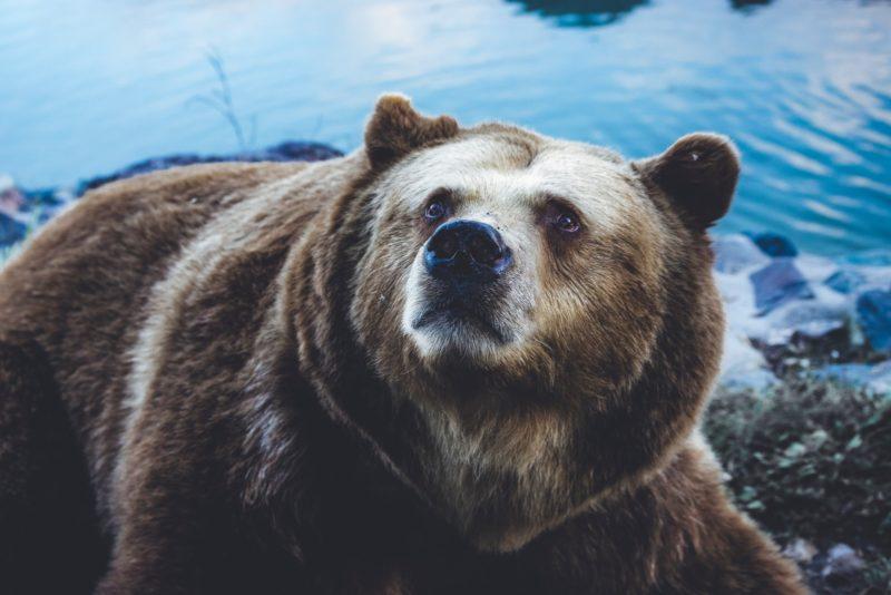 virgo spirit animal bear