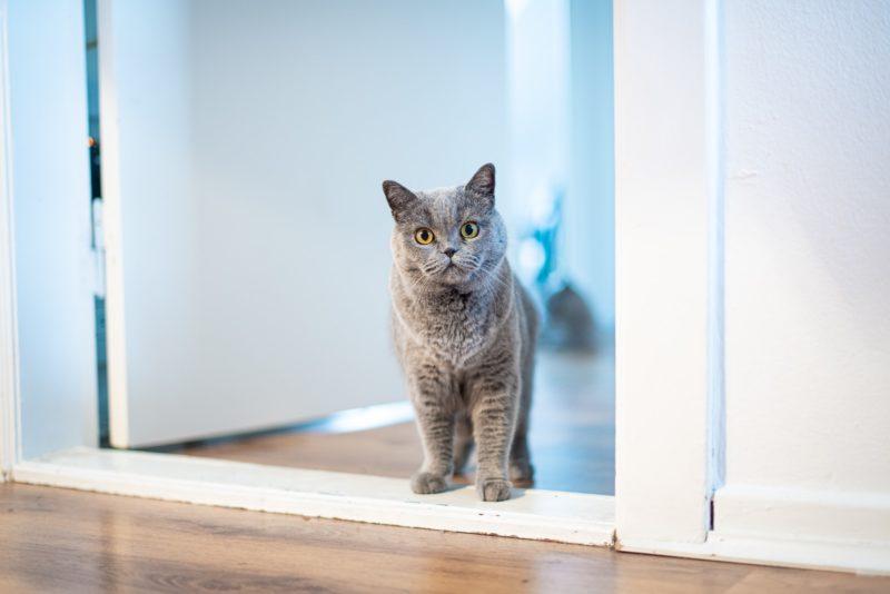 virgo spirit animal cat