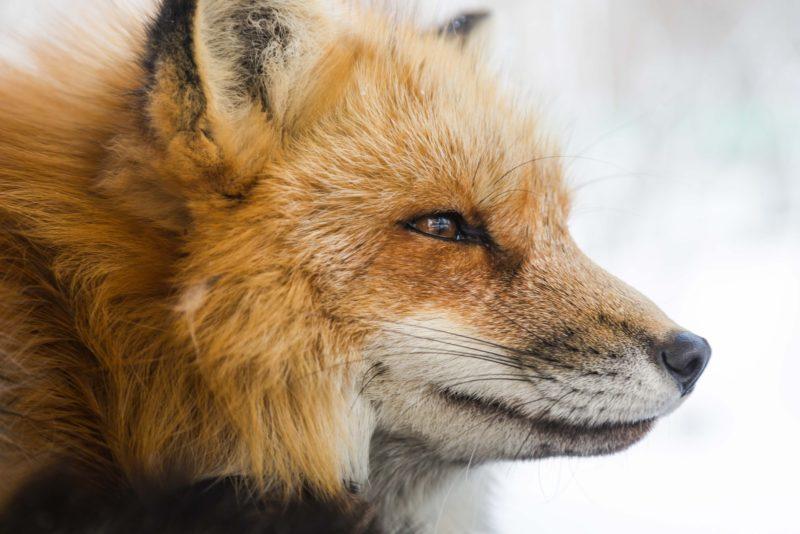 virgo spirit animal fox